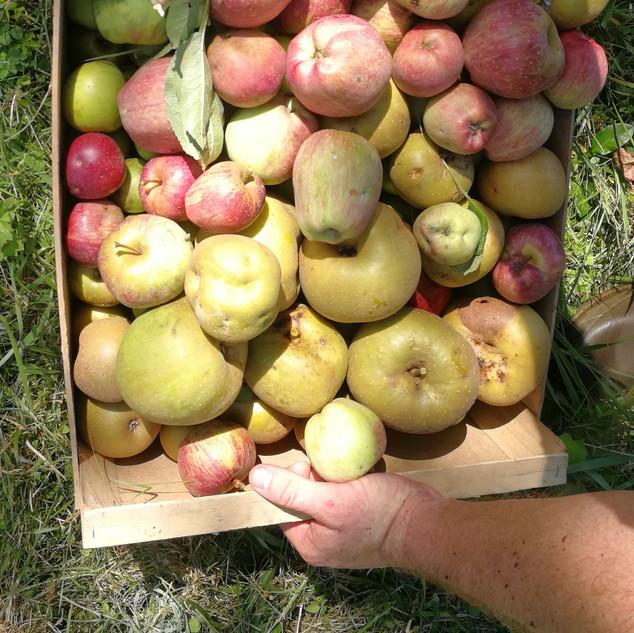 pommes anciennes pour le jus O Petit BOn