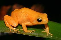 golden_frog_mantella_aurantiaca.jpg