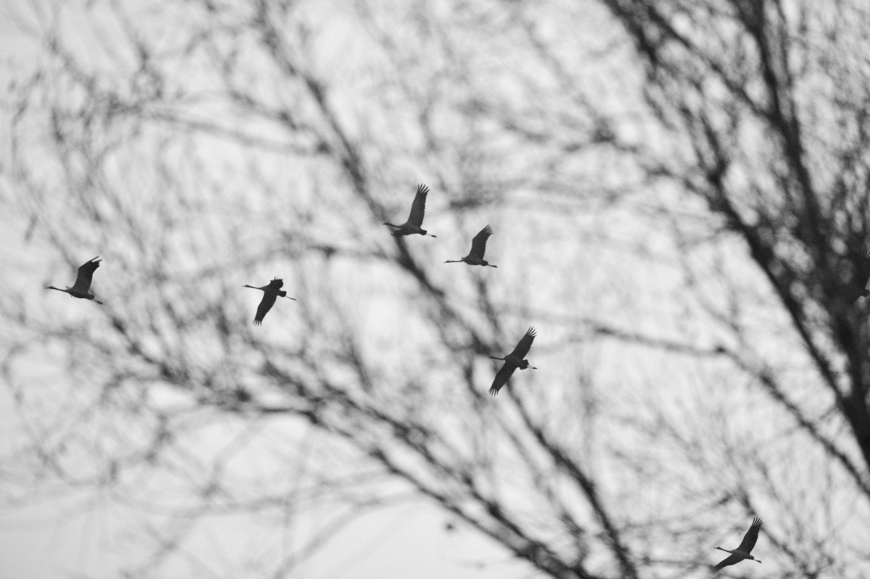 Vol de grue