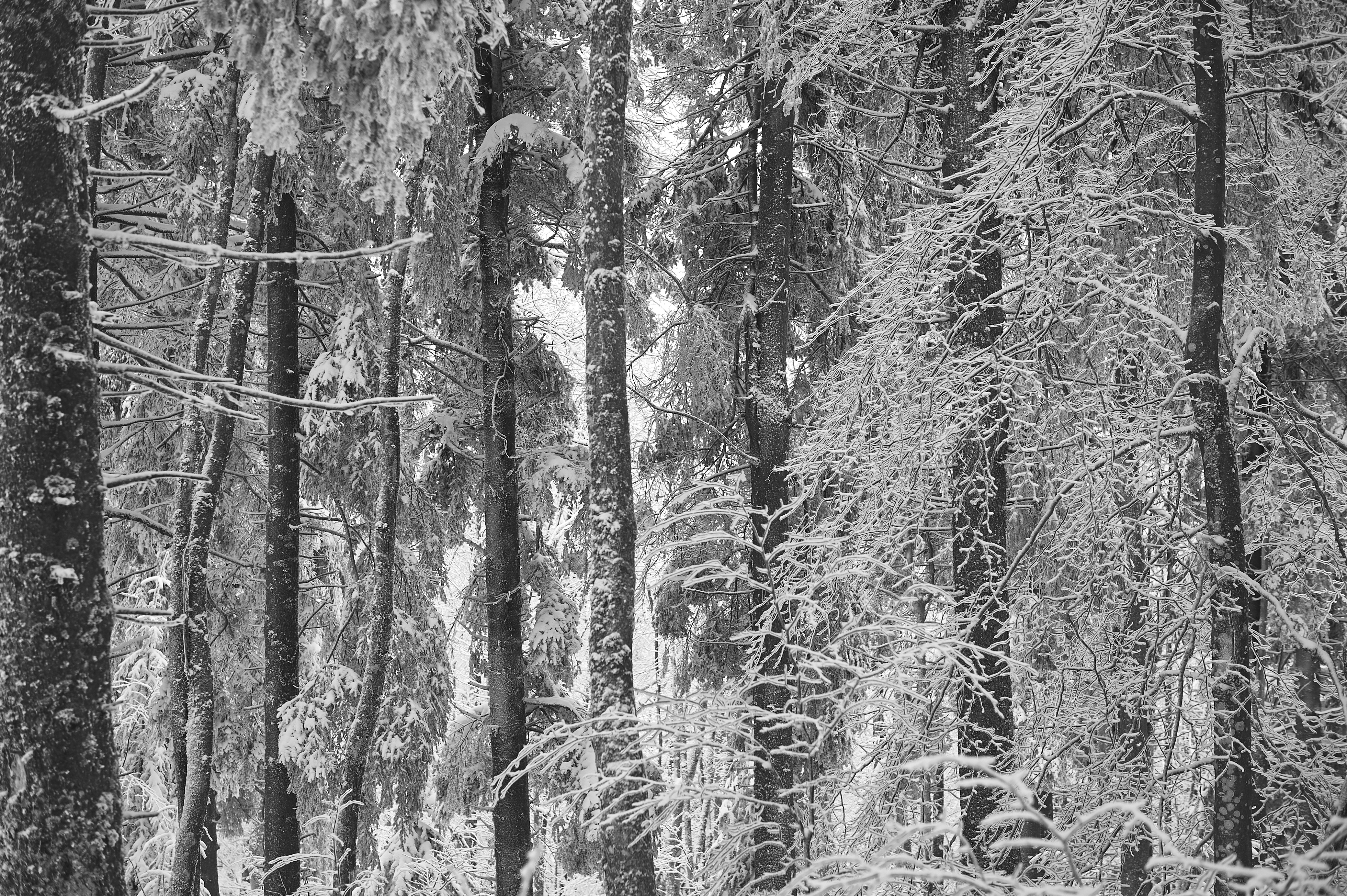 Hêtraie en hiver