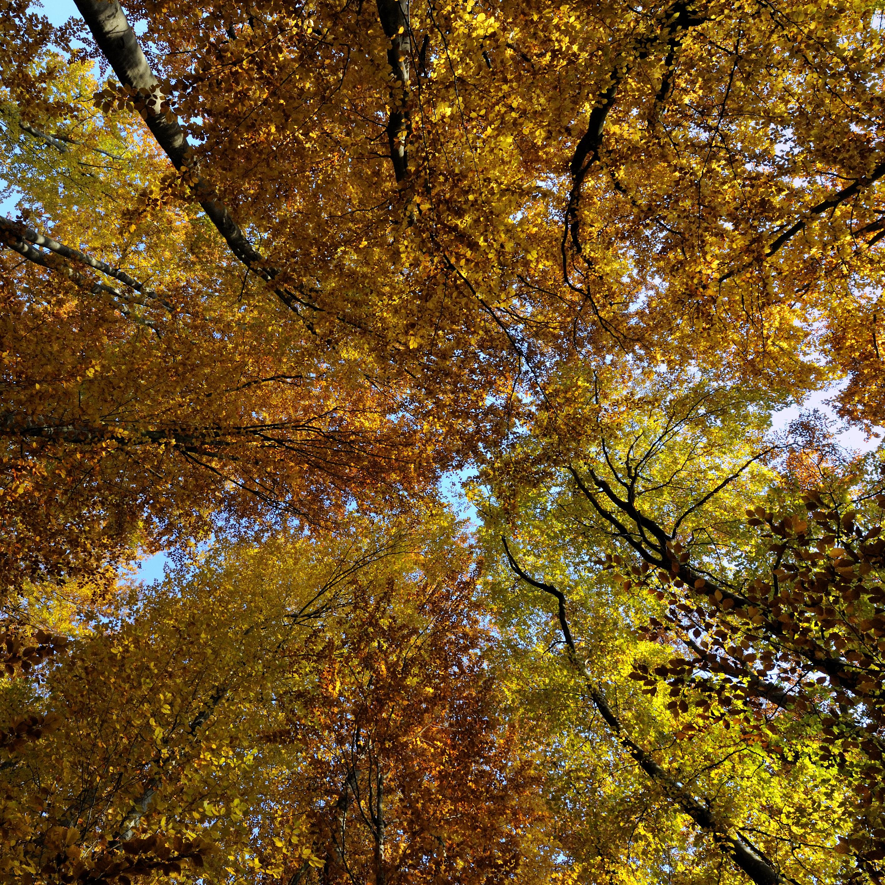 hêtraie en automne