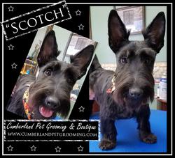 Scotch Scottie