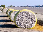 Análise Zeus  Safra 2020/21 de trigo e algodão segue em fase final