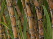 Unica atualiza as condições da safra 2021/22 de cana-de-açúcar