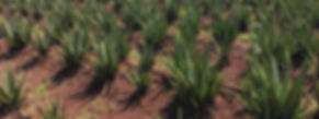 aloe-vera-plants-up-close-planted-in-the