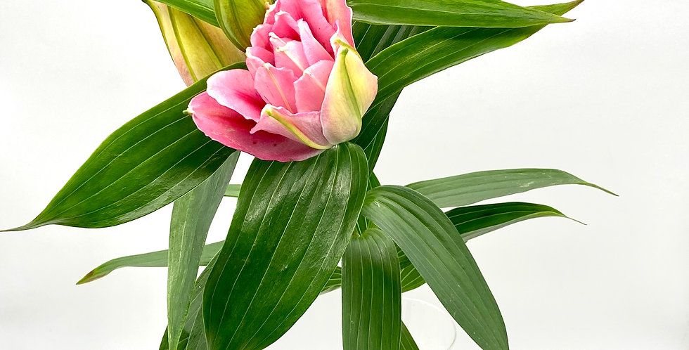 Lilie Stargazer rosa