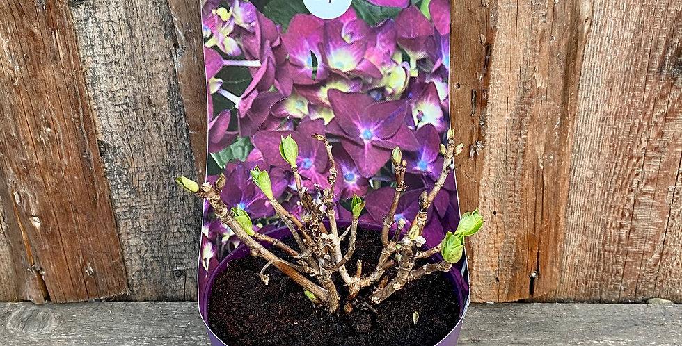 Hortensie lila