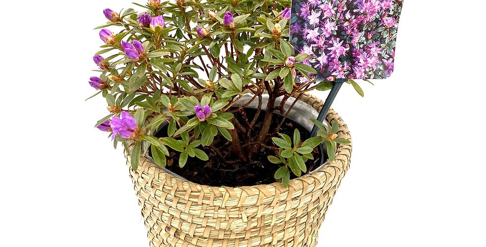 Rhododendron Moerheim