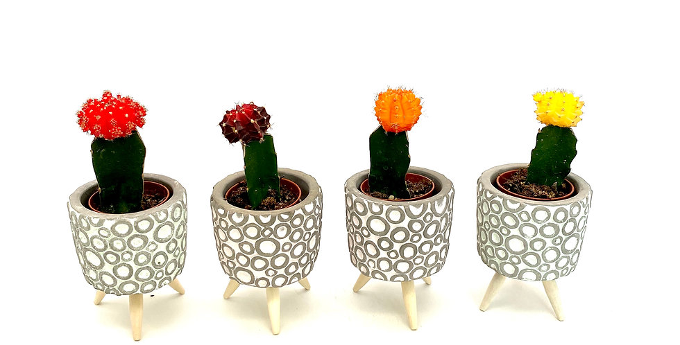 Kaktus mini (div. Farben)