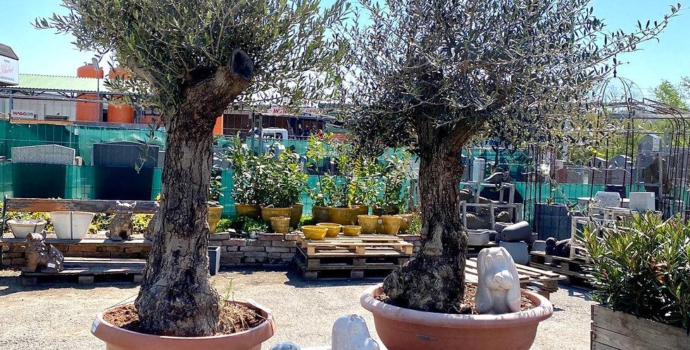 Olivenbaum (180-200 cm)