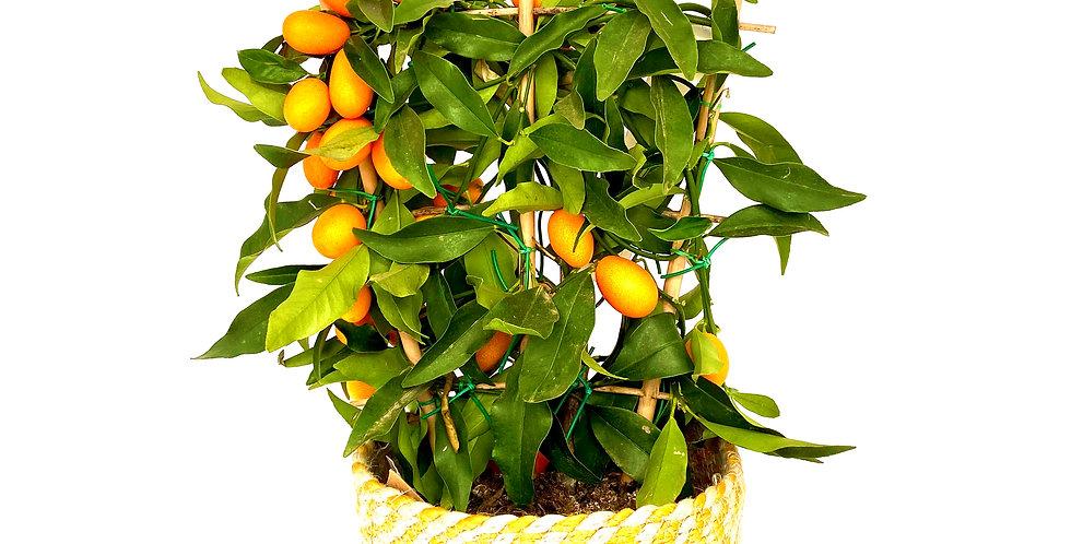 Kumquat klein
