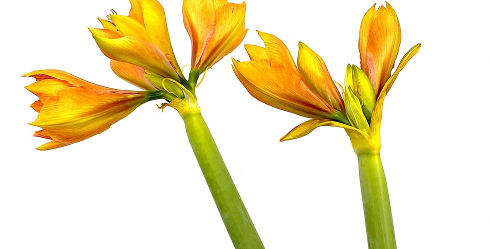 Amaryllis Schnitt, orange
