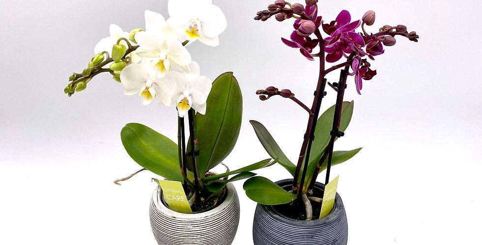 Orchideen klein (diverse Farben)