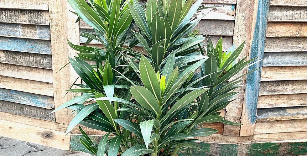 Oleander (mehrfarbig)