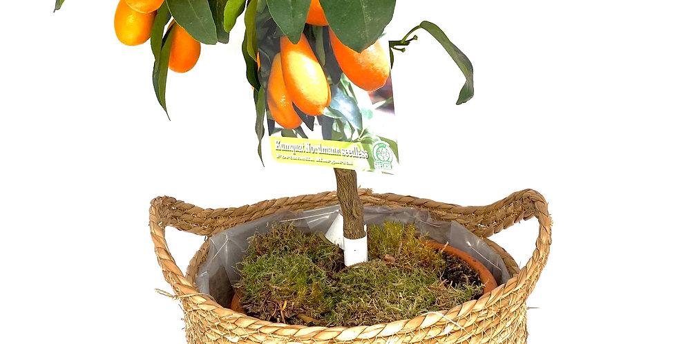 Kumquat groß