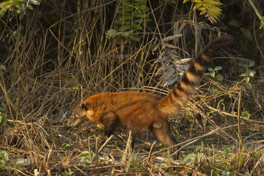 coati-01-wildlife-pantanal-tours