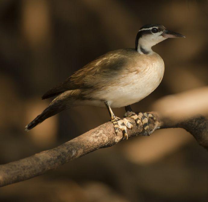 bird-sungrebe-01-wildlife-pantanal-tours