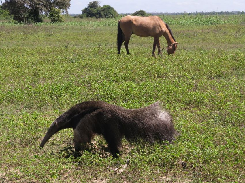 giant-anteater-02-wildlife-pantanal-tours