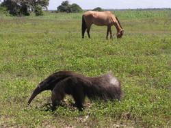 giant-anteater-02-wildlife-pantanal-tours