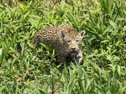 jaguar-01-wildlife-pantanal-tours