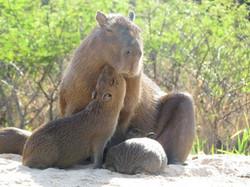 capibara-02-wildlife-pantanal-tours