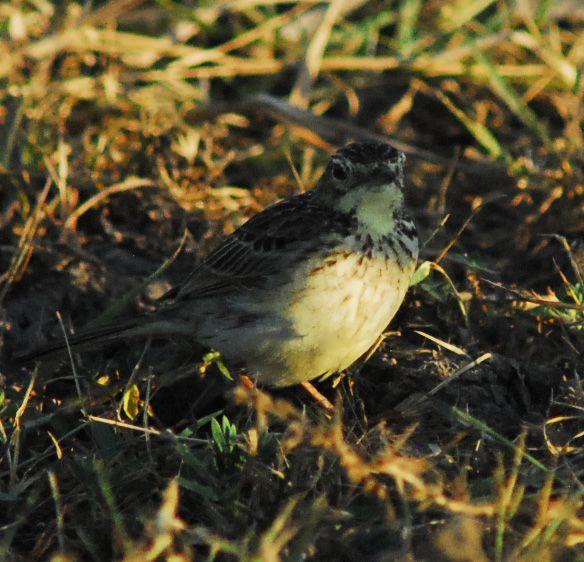 bird-04-wildlife-pantanal-tours
