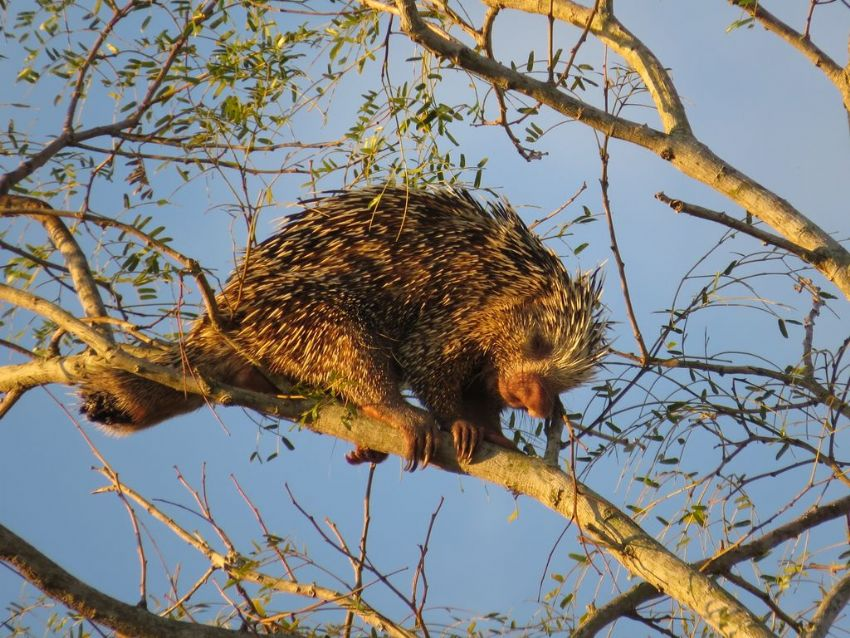 hedgehog-01-wildlife-pantanal-tours