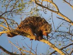 hedgehog-01-wildlife-pantanal-tours
