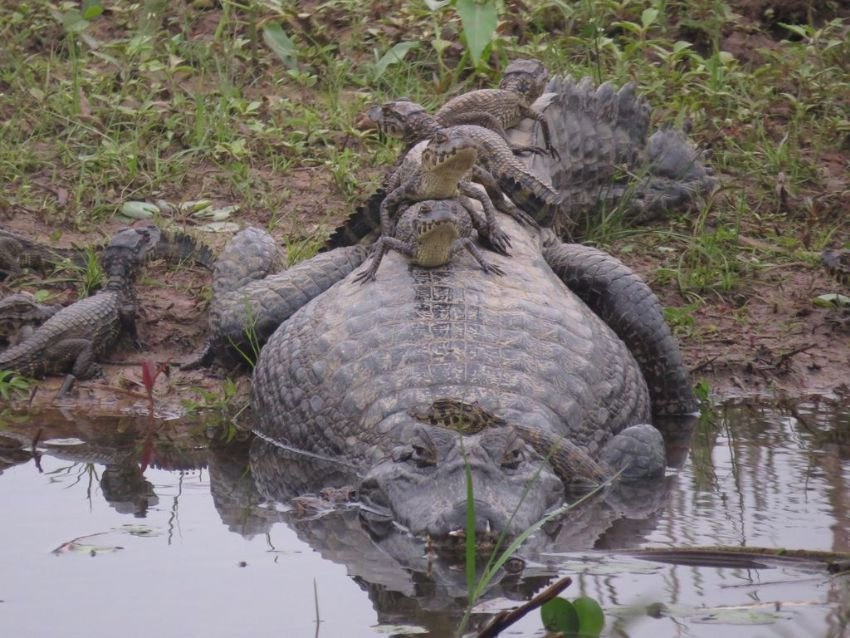 caiman-03-wildlife-pantanal-tours
