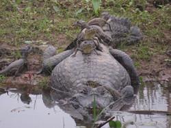 caiman-03-wildlife-pantanal-tours