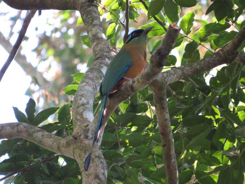 bird-motmot-01-wildlife-pantanal-tours