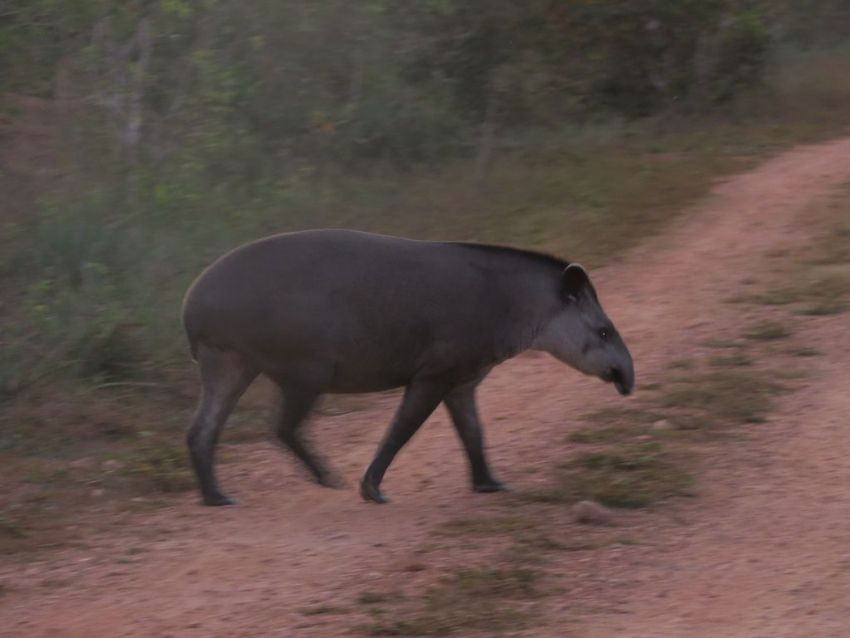 tapir-02-wildlife-pantanal-tours
