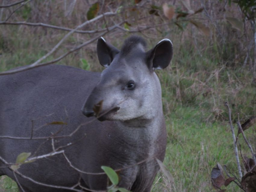 tapir-01-wildlife-pantanal-tours