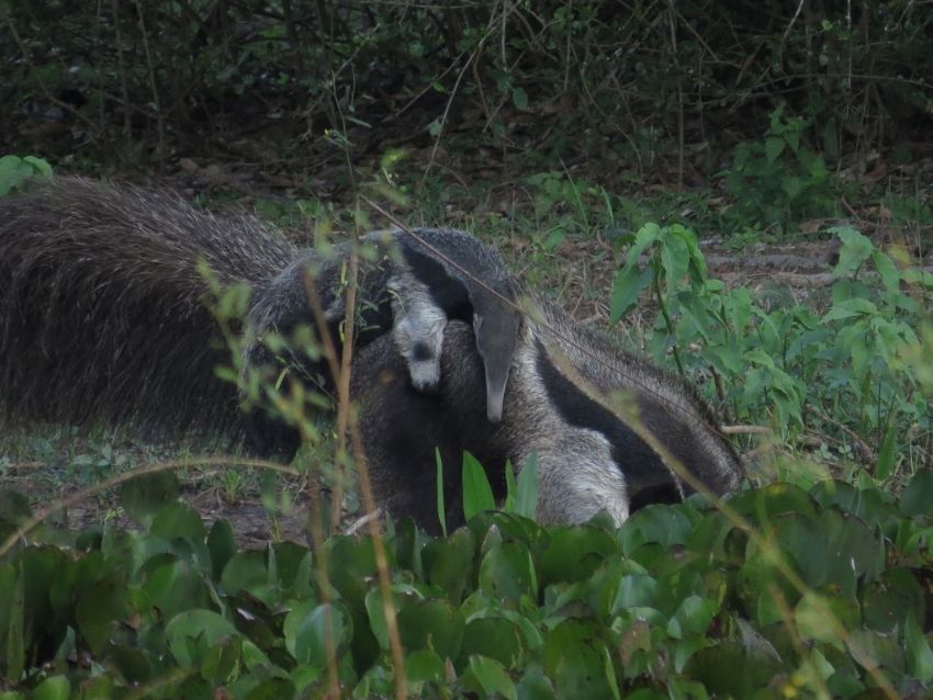 giant-anteater-01-wildlife-pantanal-tours