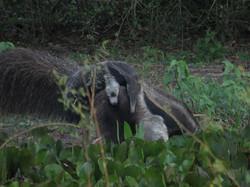 giant-anteater-01-wildlife-pantanal-tours