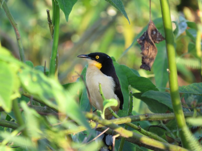 bird-donacobius-01-wildlife-pantanal-tours