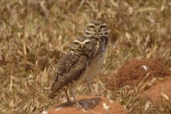 bird-burrowing-owl-01-wildlife-pantanal-tours