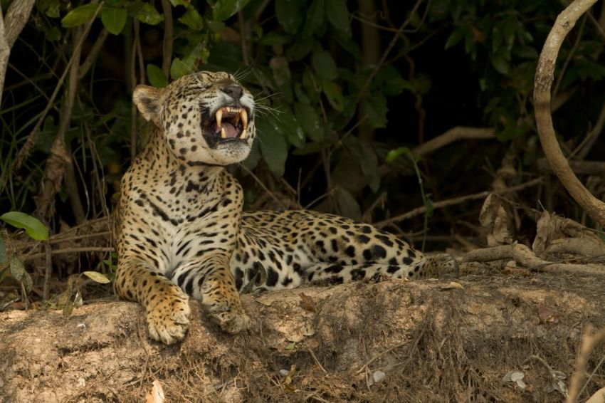 jaguar-22-wildlife-pantanal-tours