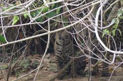 jaguar-13-wildlife-pantanal-tours