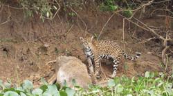 jaguar-18-wildlife-pantanal-tours