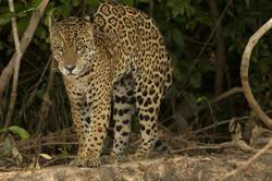 jaguar-23-wildlife-pantanal-tours
