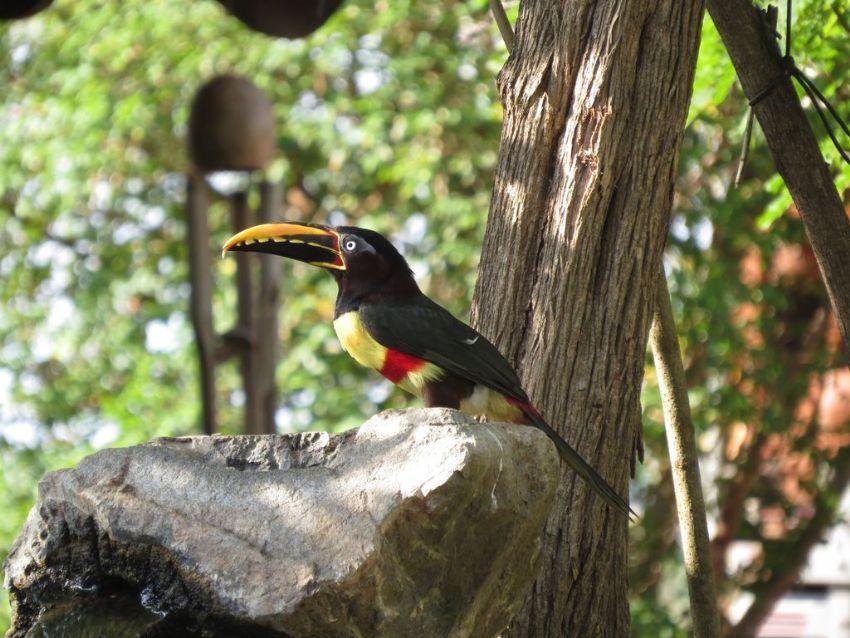 bird-chestnut-eared-racari-01-wildlife-pantanal-tours