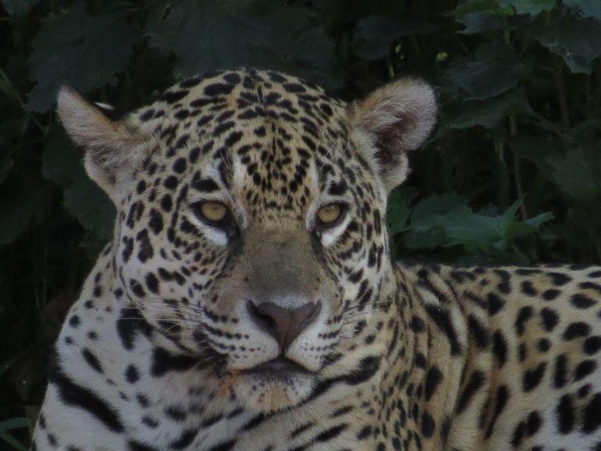 jaguar-27-wildlife-pantanal-tours