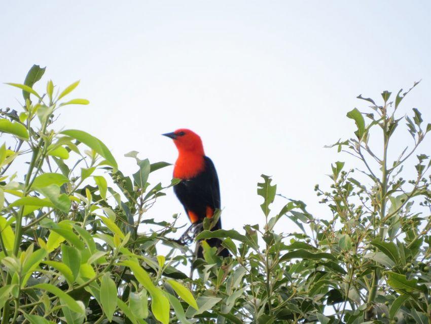 bird-scarlet-headed-blackbird-01-wildlife-pantanal-tours