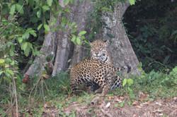jaguar-31-wildlife-pantanal-tours
