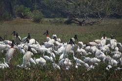 bird-storks-and-egrets-wildlife-pantanal-tours