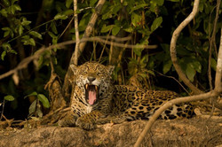 jaguar-21-wildlife-pantanal-tours