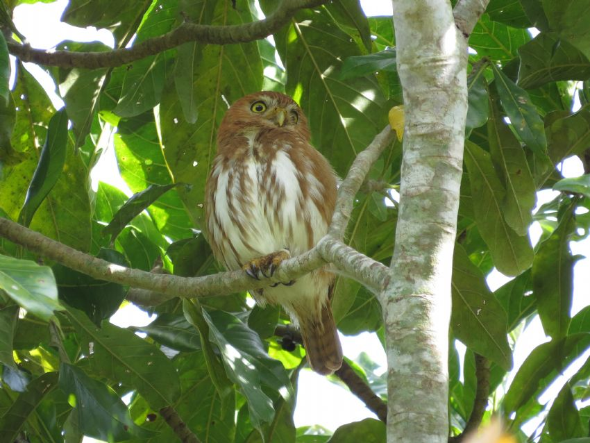bird-feruginous-pygmy-owl-01-wildlife-pantanal-tours