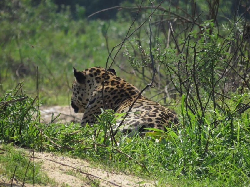 jaguar-11-wildlife-pantanal-tours