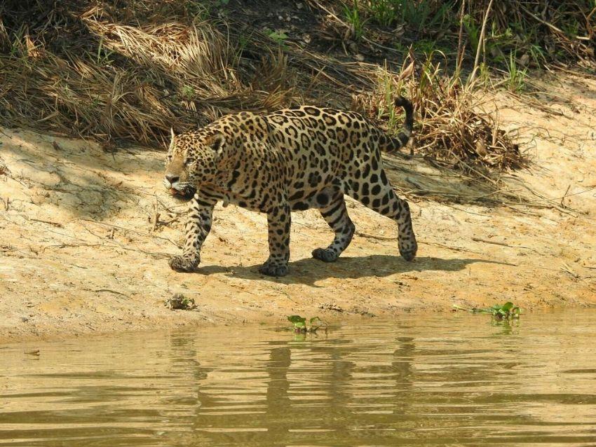 jaguar-03-wildlife-pantanal-tours
